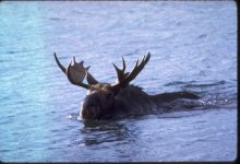Photo of Moose Facts You Probably Didn't Know About